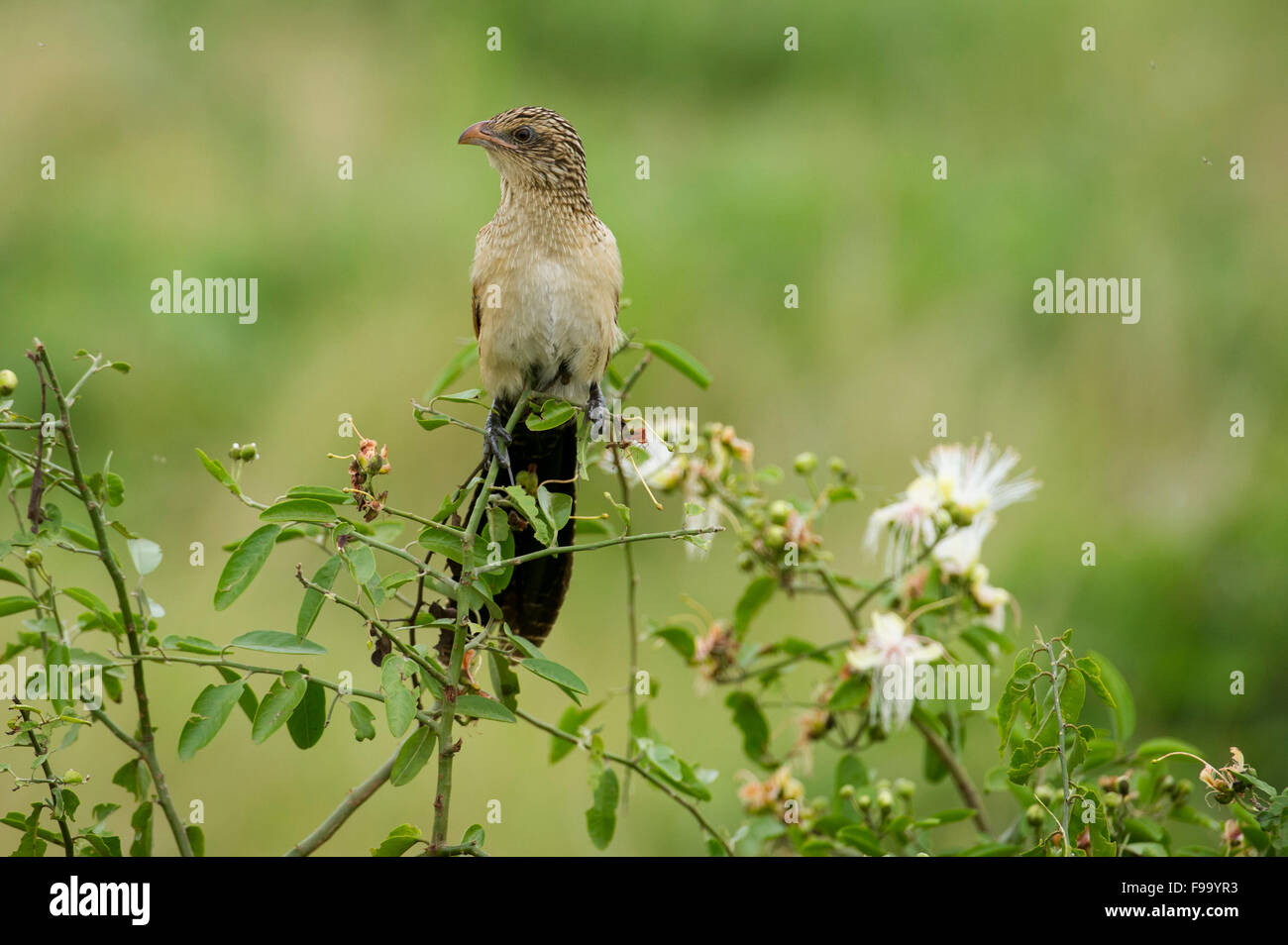 Immature White-browed coucal, Centropus superciliosus, Ishasha sector in Queen Elizabeth National Park, Uganda - Stock Image
