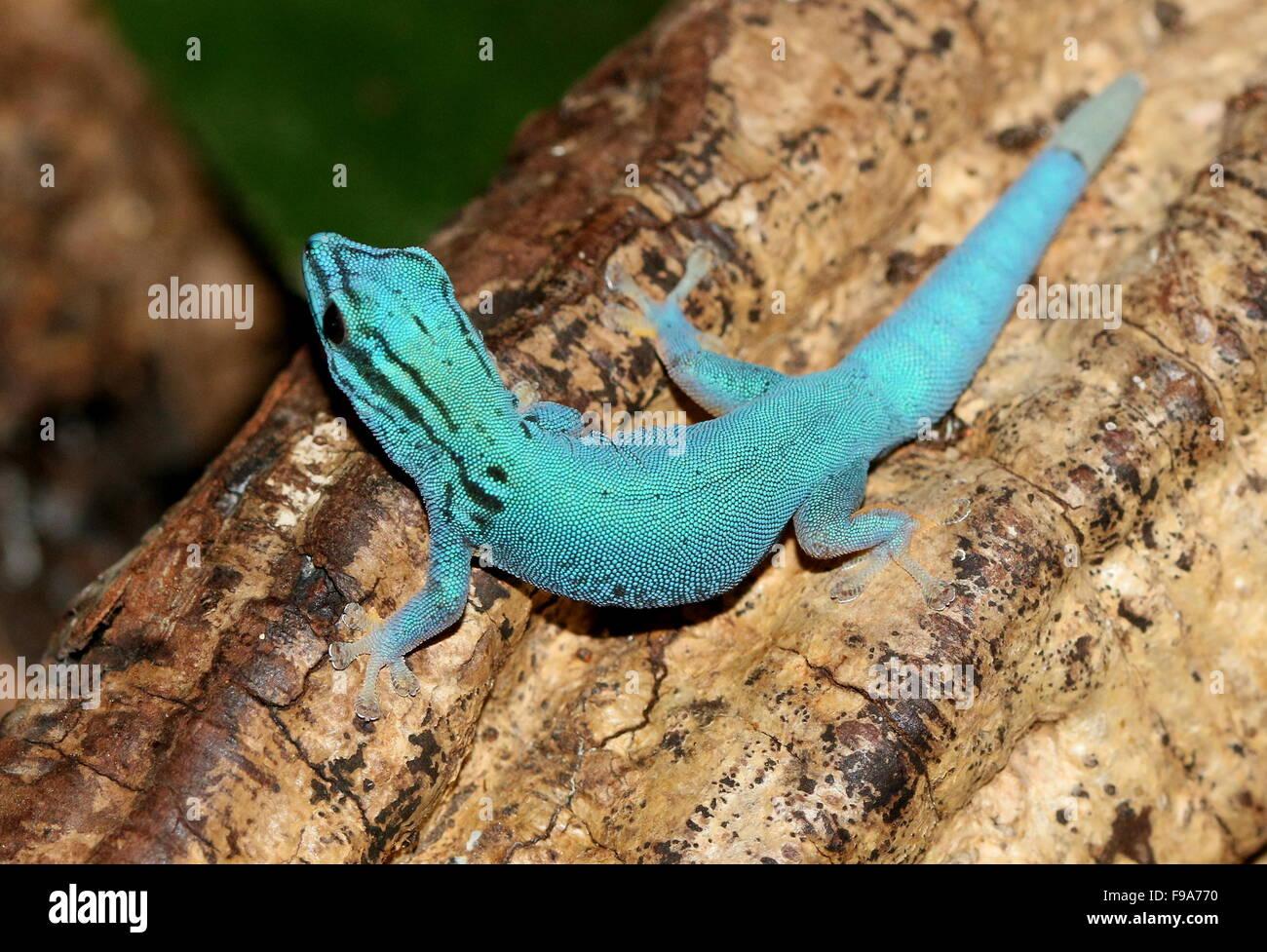 Tanzanian Turquoise Dwarf Gecko or William's dwarf gecko (Lygodactylus williamsi) Stock Photo