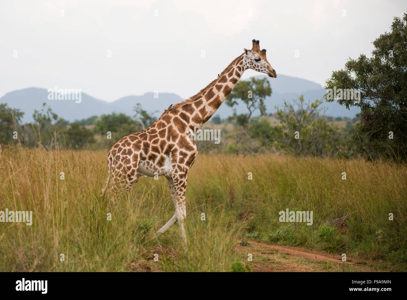 Rothschild Giraffe (Giraffa camelopardalis rothschildi), Kidepo Valley National Park, Uganda - Stock Image