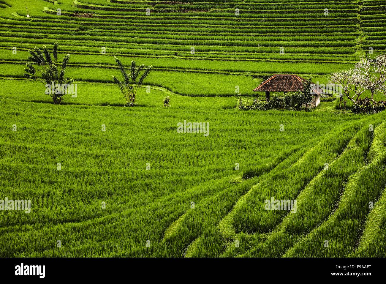 Rice terraces in Bali - Stock Image