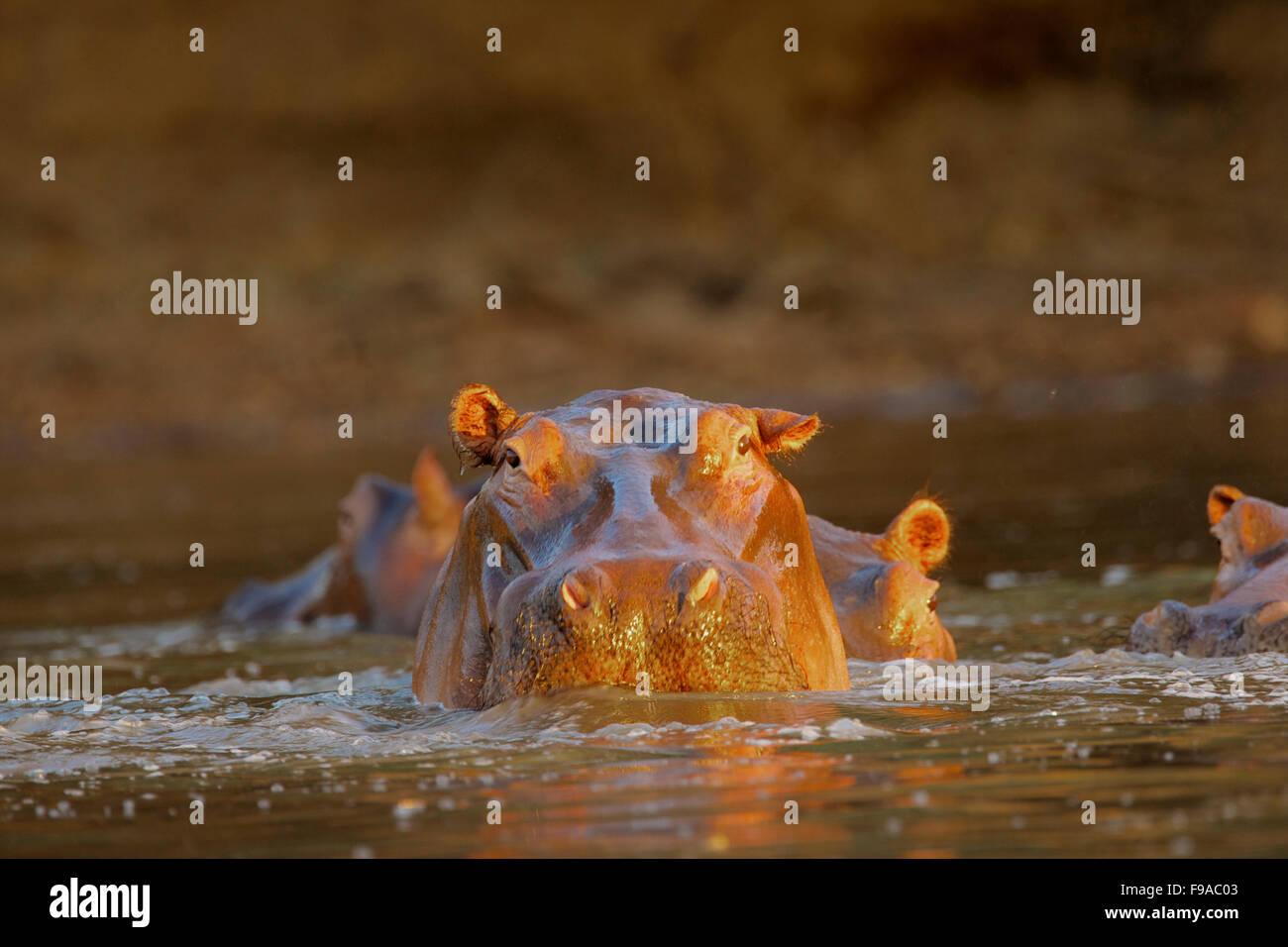 Hippopotamus, Mana Pools, Zimbabwe - Stock Image