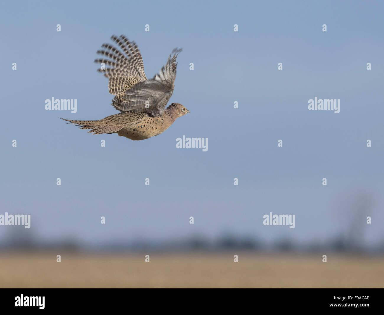A flying hen pheasant over the North Dakota Prairie Stock Photo