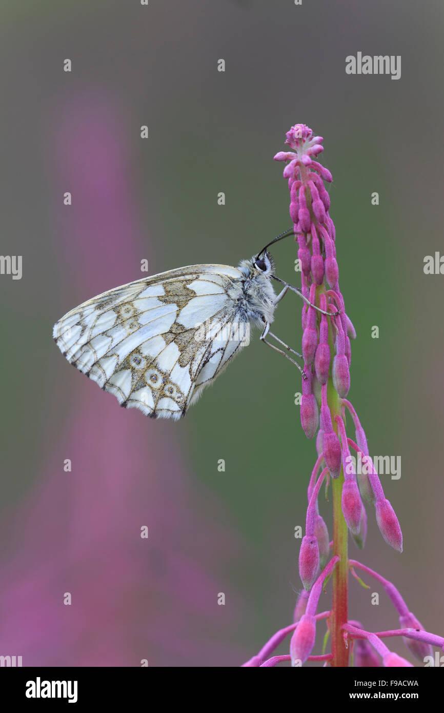 Marbled White, Melanargia galathea,  resting on Rosebay Willowherb, North Yorkshire - Stock Image