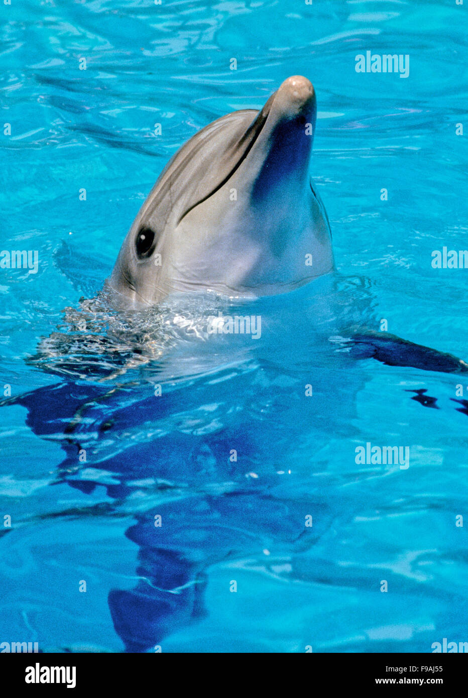 Bottlenose dolphins, the genus Tursiops, are the most common and well-known members of the family Delphinidae - Stock Image