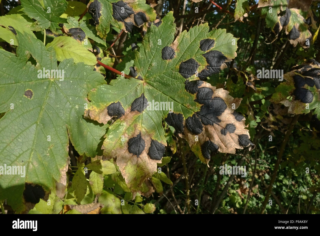 Tar spot, Rhytisma acxerinum, bold black disease spots and necrosis on a sycamore leaf, Berkshire - Stock Image