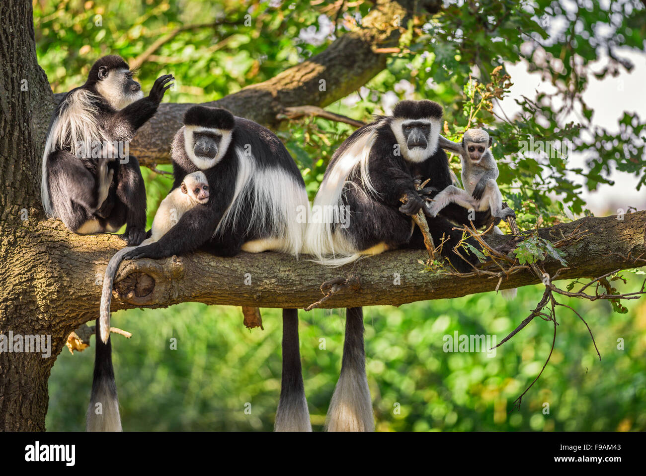 A troop of Mantled guereza monkeys (Colobus guereza) plays with two newborns - Stock Image