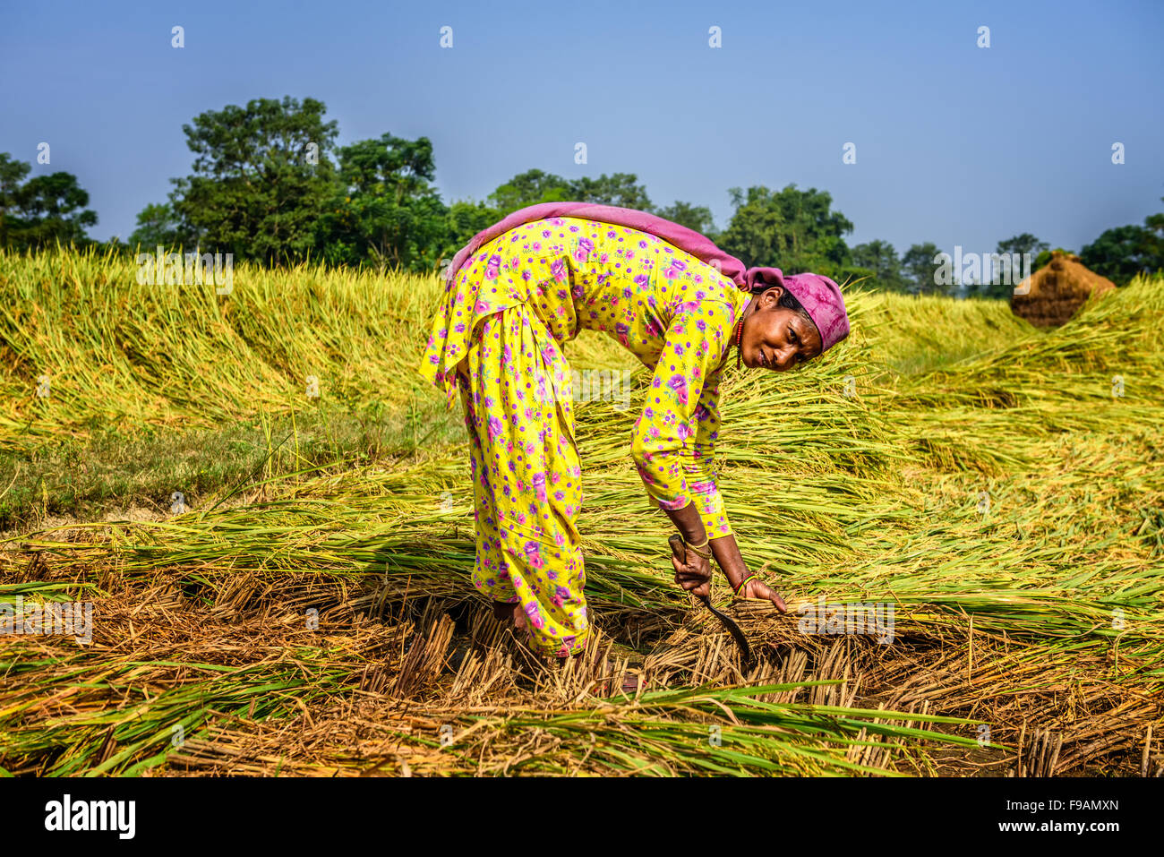 Nepalese woman working in a rice field at sunrise - Stock Image