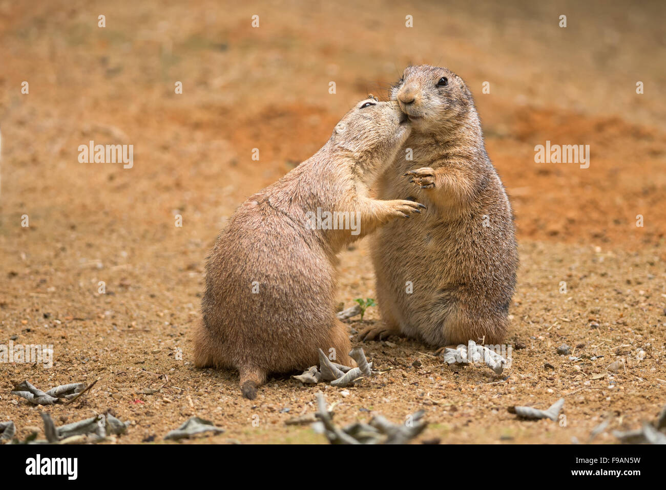 Two prairie dogs stock photos two prairie dogs stock images alamy two prairie dogs genus cynomys sharing their food stock image m4hsunfo