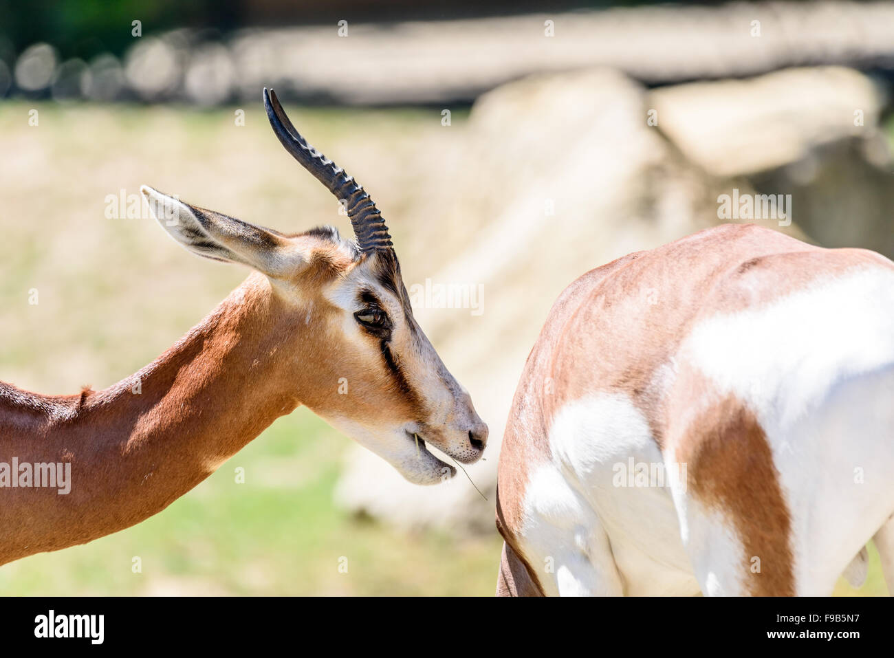 Wild Gazelles On Savannah In National Park - Stock Image