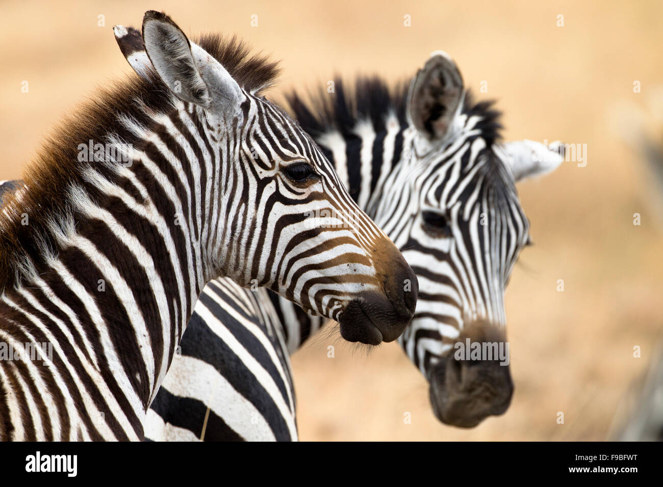 Two young Zebra at play. - Stock Image