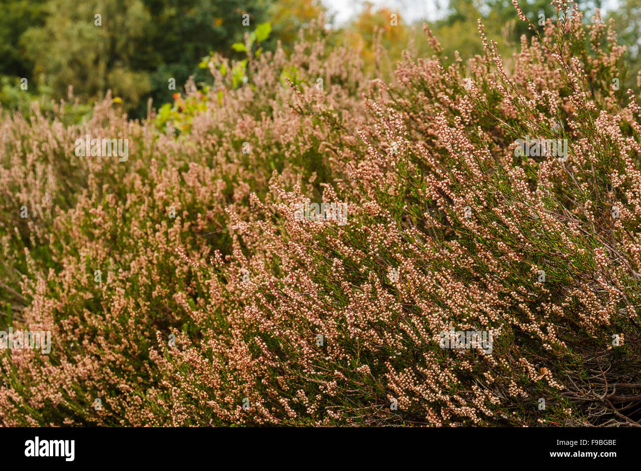 Heath vegetation in autumn after blooming. Beautiful pink colors remain in the autumn sun. Drenthe, The Netherlands. Stock Photo