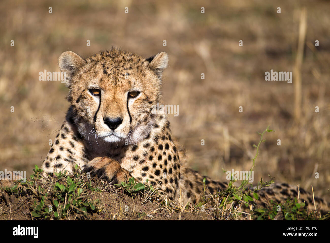 Cheetah with eyes on you. - Stock Image