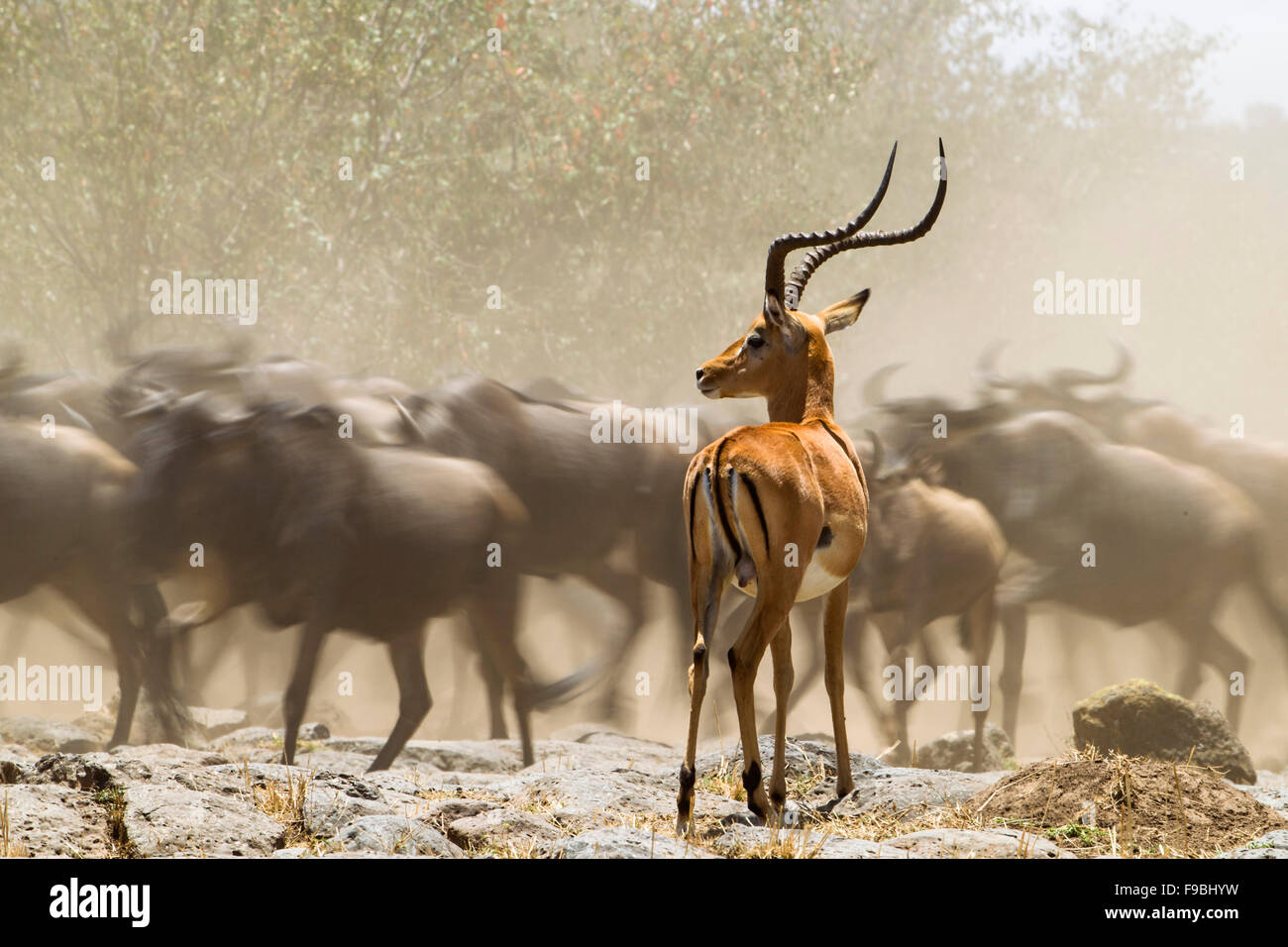Immobile impala watches wildebeest in the dust as they run past. - Stock Image