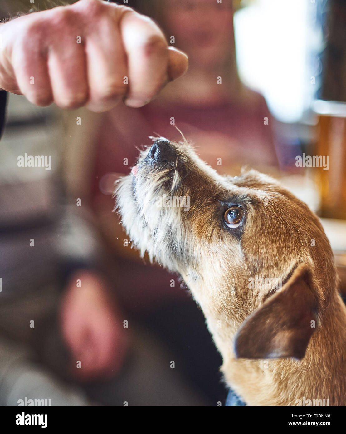A Boarder Terrier Dog expectantly waiting to be fed - Stock Image