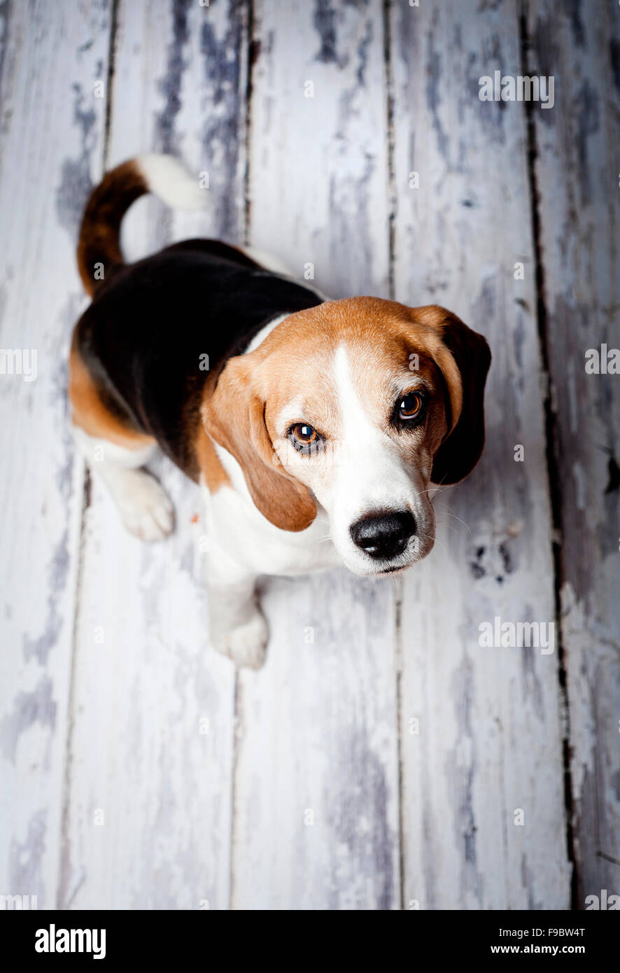 Cute hunting dog  portrait on wooden floor - Stock Image
