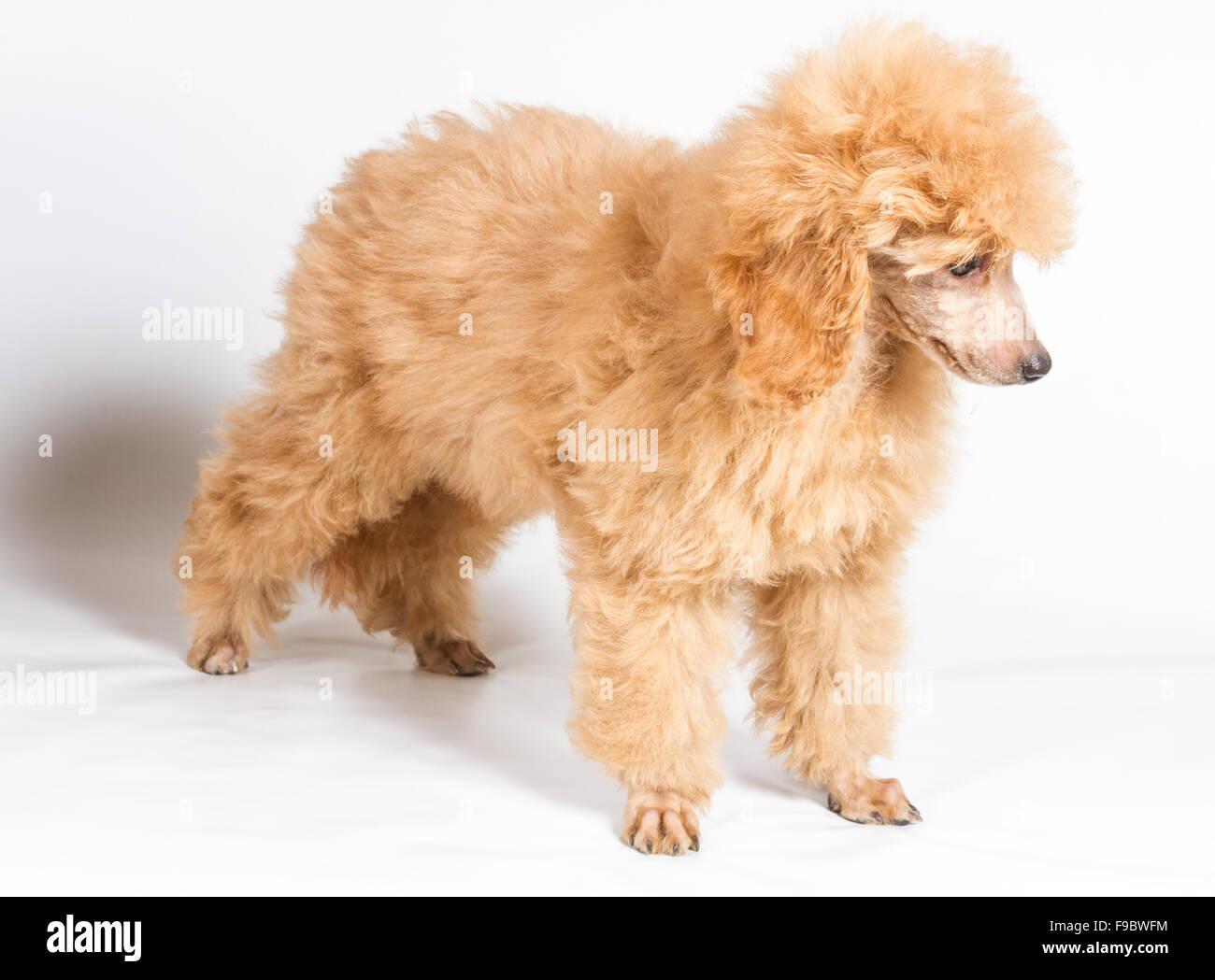 Apricot Poodle Puppy Portrait On A White Background Stock Photo Alamy