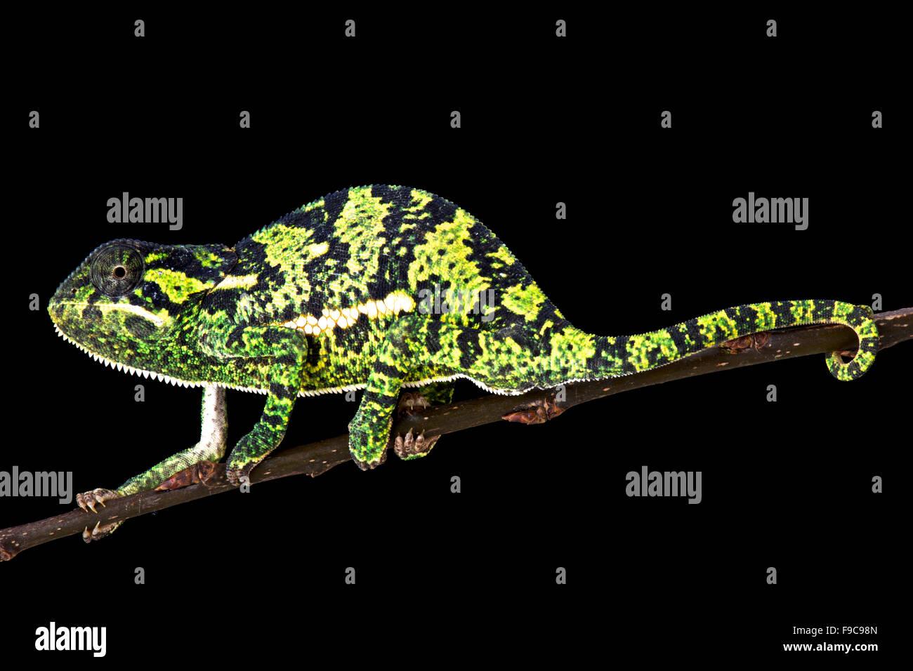 Flapnecked chamaeleon (Chamaeleo dilepis) - Stock Image
