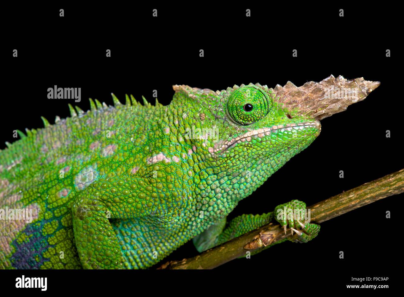 Fischers chameleon stock photos fischers chameleon stock images fischers chameleon kinyongia fischeri stock image thecheapjerseys Images