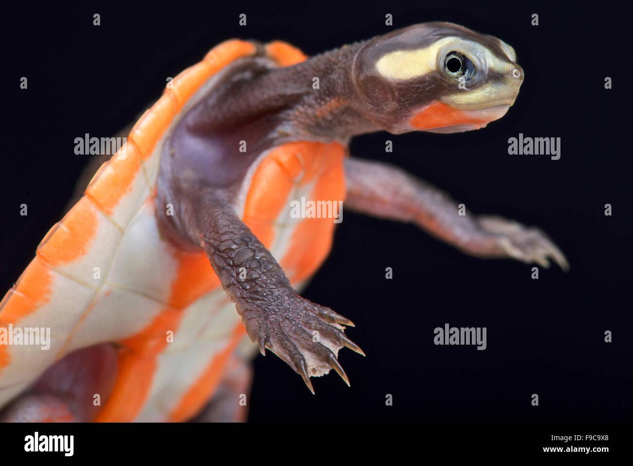 Red-bellied Shortneck Turtle (Emydura subglobosa) - Stock Image