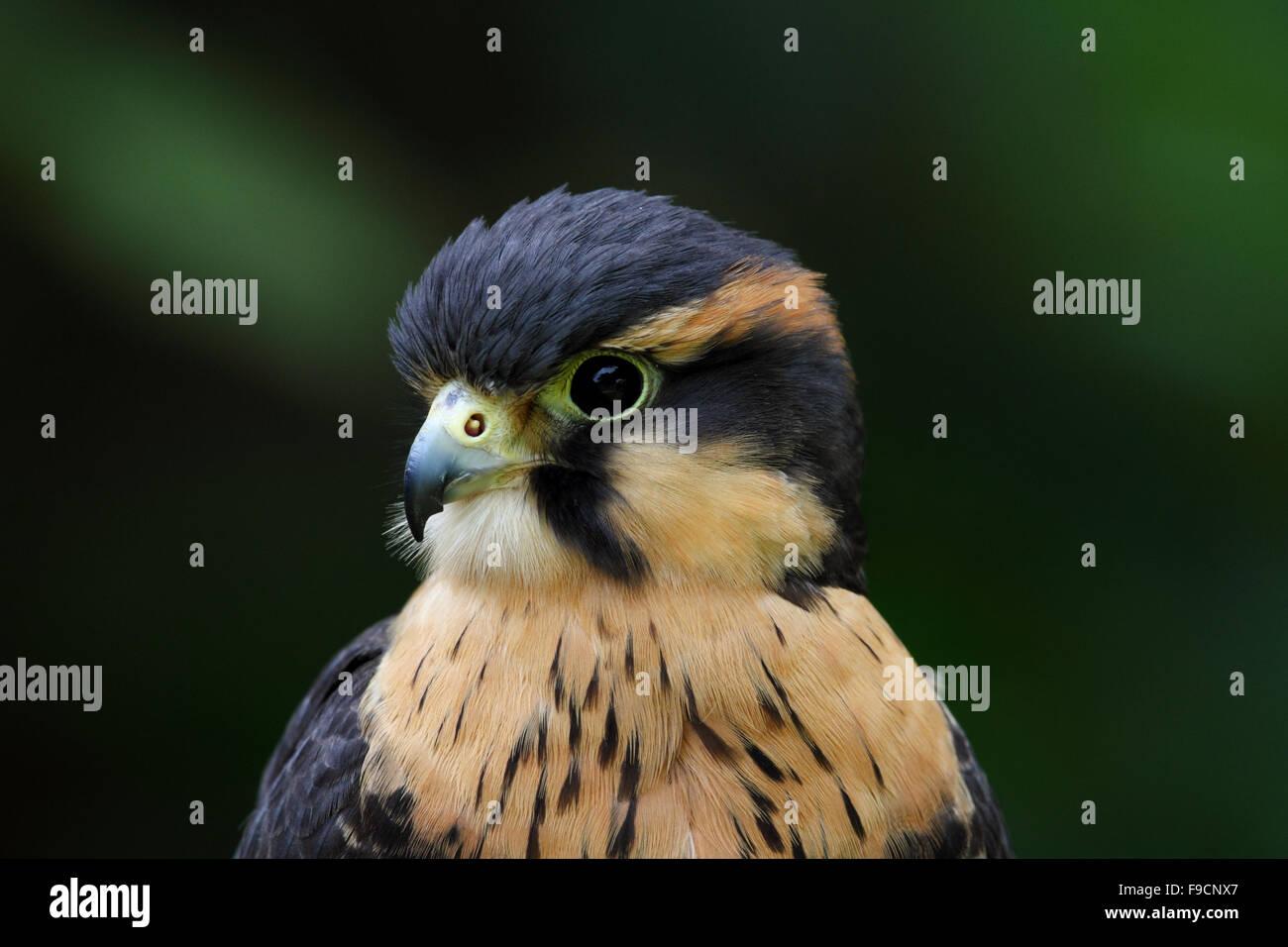 African Crowned Eagle | African crowned eagle, Birds of ...  |African Crowned Eagle Falconry