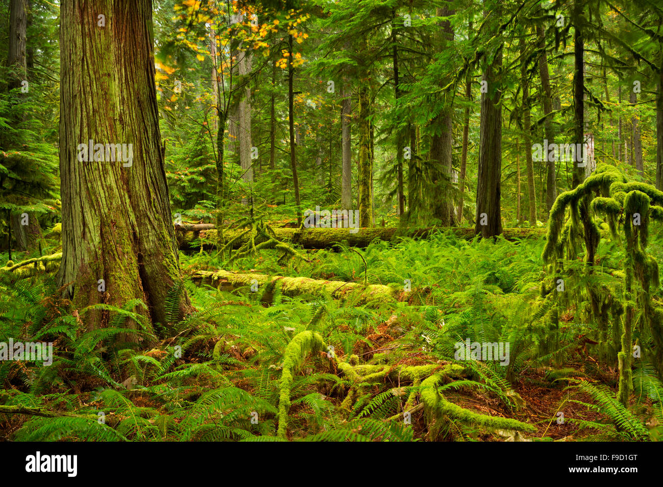 Lush rainforest in the Cathedral Grove on Vancouver Island, Canada. - Stock Image