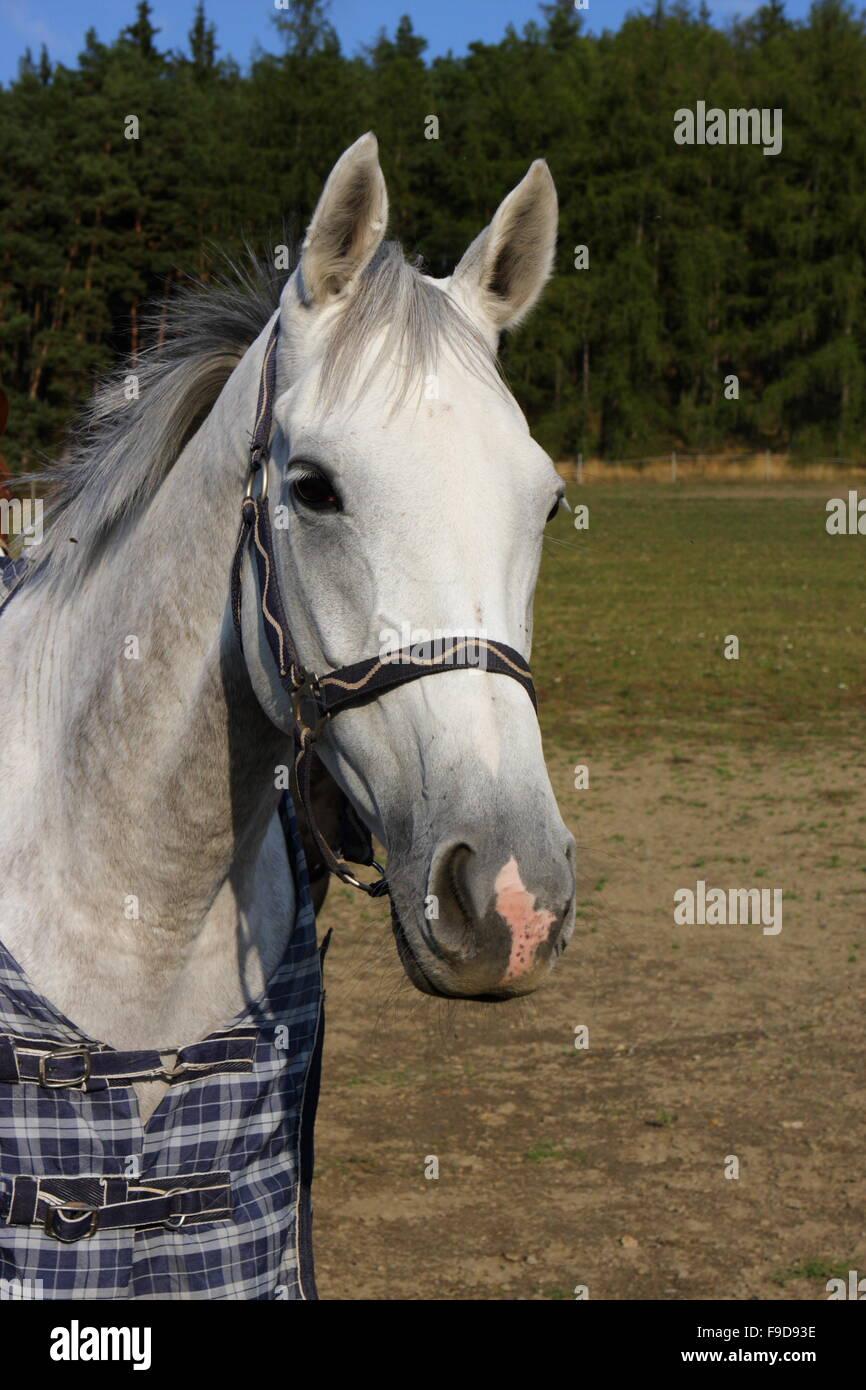 Sixteen,, Winner of Velka Pardubicka Steeplechase 2008,, on the pasture at Mlynce,, Czech republic - Stock Image