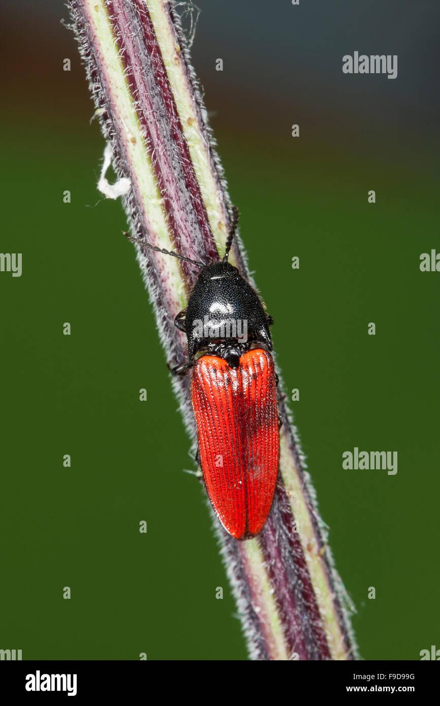 Cardinal click beetle, Roter Schnellkäfer, Rotdecken-Schnellkäfer, Ampedus spec., Schnellkäfer, Elateridae, - Stock Image