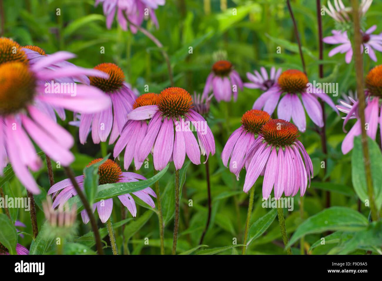 Purple Cone Flower, coneflower, Roter Sonnenhut, Purpur-Sonnenhut, Echinacea purpurea, Rudbeckia purpurea, Brauneria - Stock Image