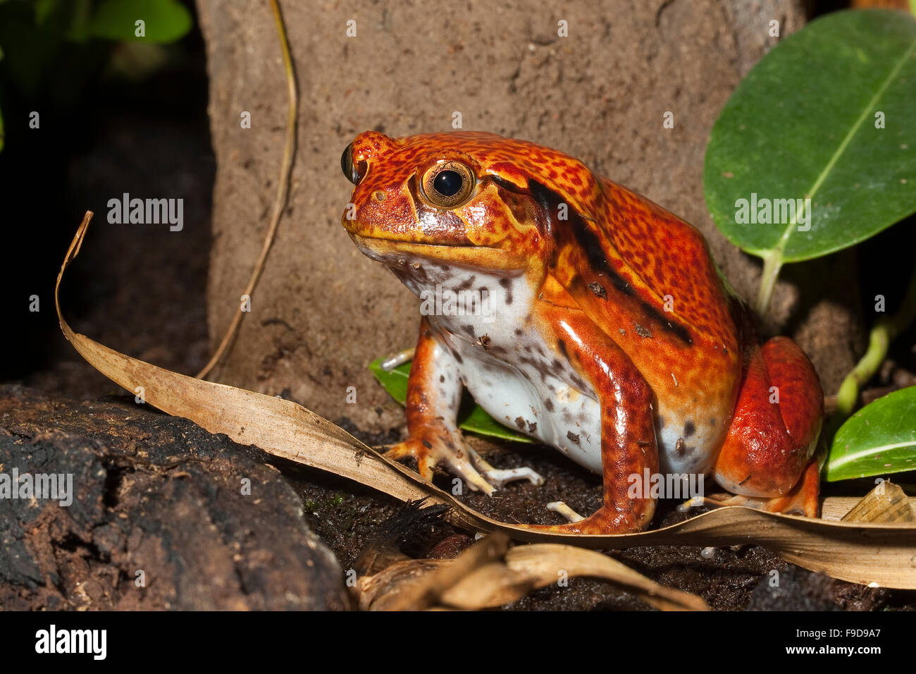 Southern Tomato Frog, False Tomato Frog, Südlicher Tomatenfrosch, Gefleckter Tomaten-Frosch, Frosch, Dyscophus - Stock Image