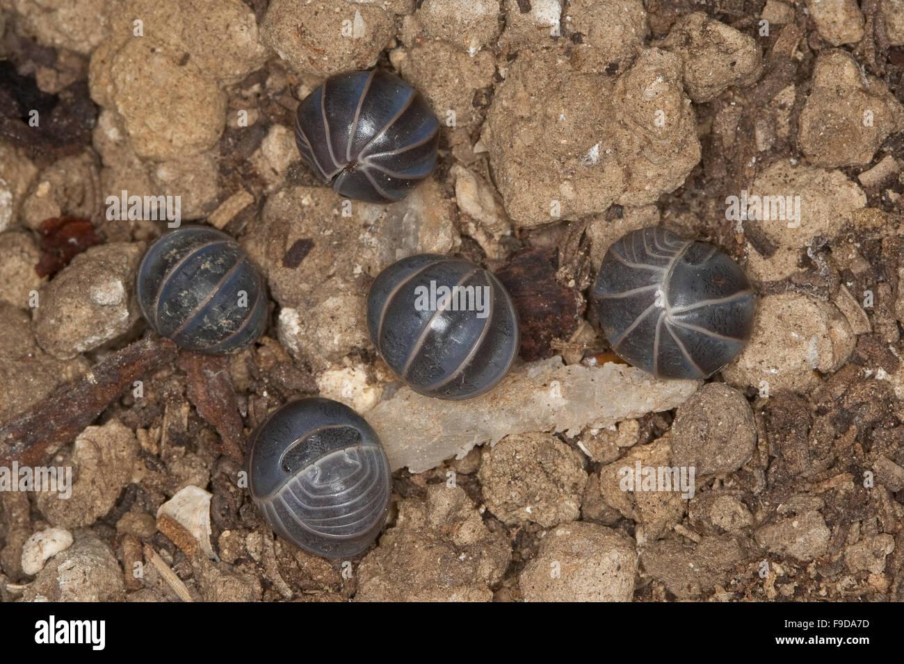 Mediterranean oak-woodland pillbug, Rollassel, Gürtelassel, Armadillo officinalis, Armadillo invenustus, Armadillo - Stock Image
