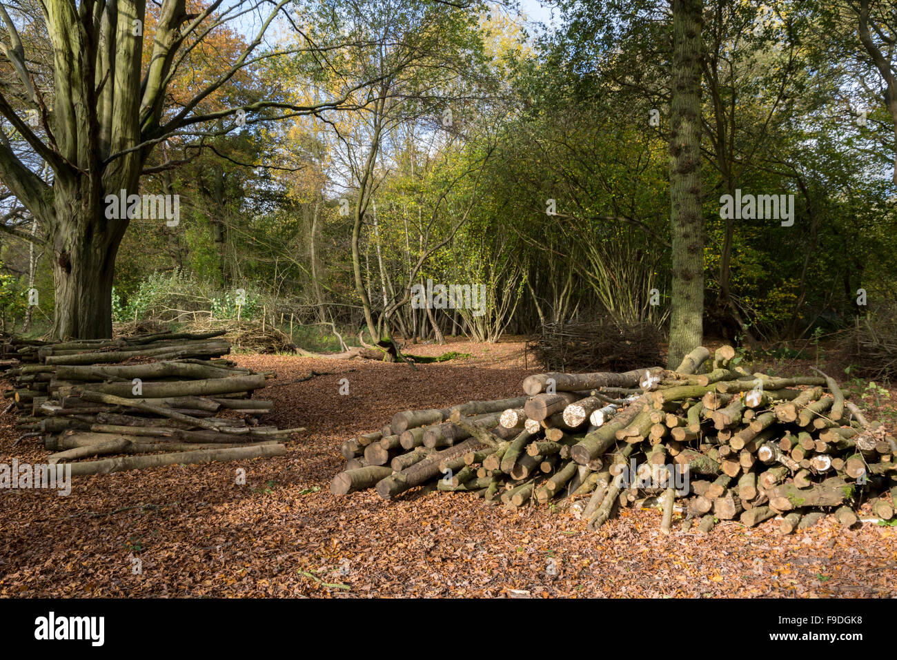 Logging in managed woodland - Stock Image