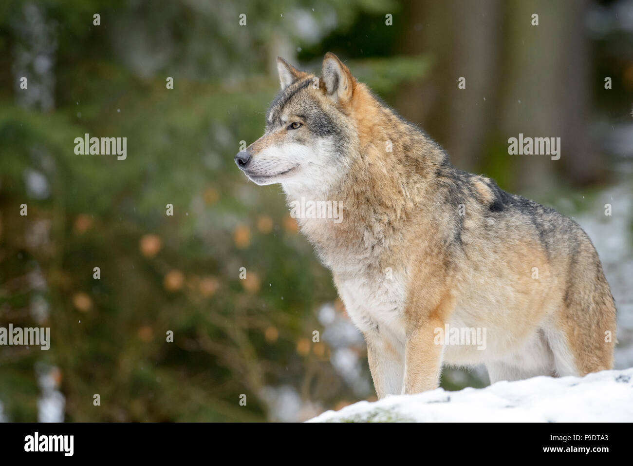Adult Eurasian wolf (Canis lupus lupus) looking up and standing in the snow, Bayerische wald, Germany - Stock Image