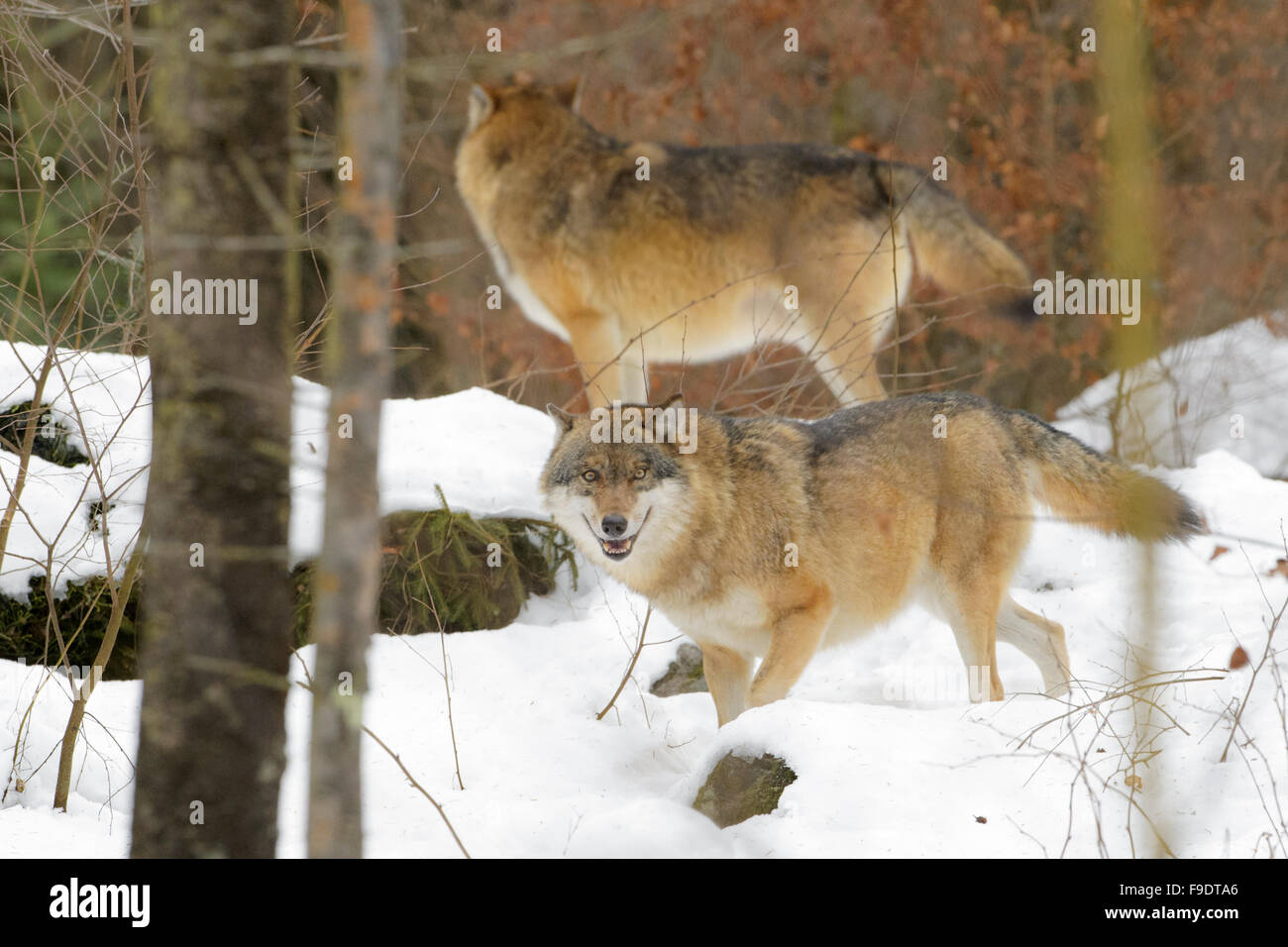 European wolf (Canis lupus lupus) together in the forest with snow, looking at camera, Bavarian forest, Germany - Stock Image