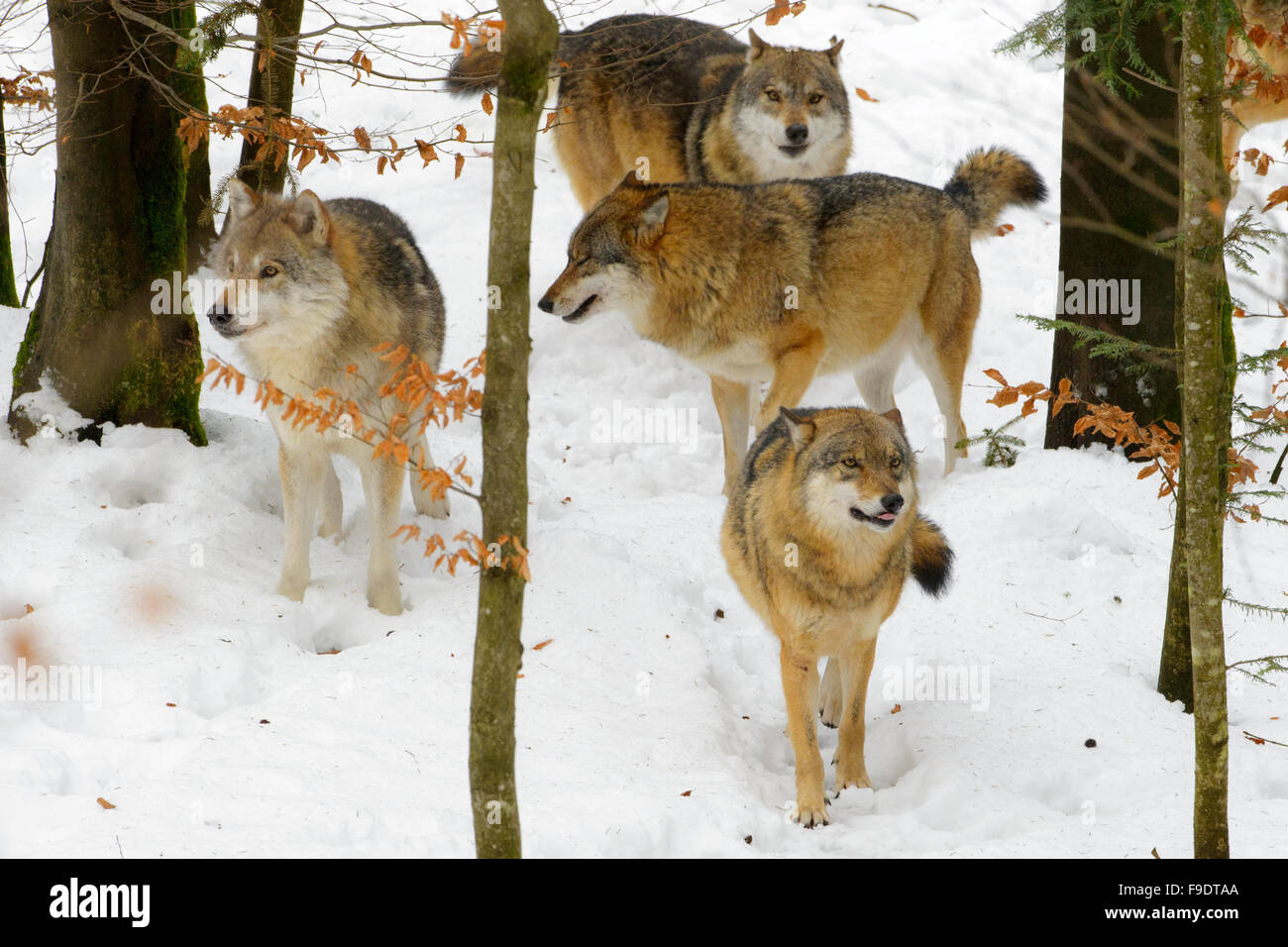 European wolf (Canis lupus lupus) pack, playing and communicating in the forest with snow, Bavarian forest, Germany - Stock Image