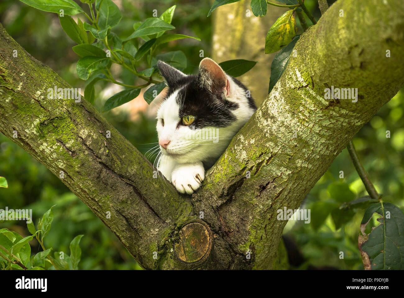Black and white cat in a garden tree observing local activity - Stock Image