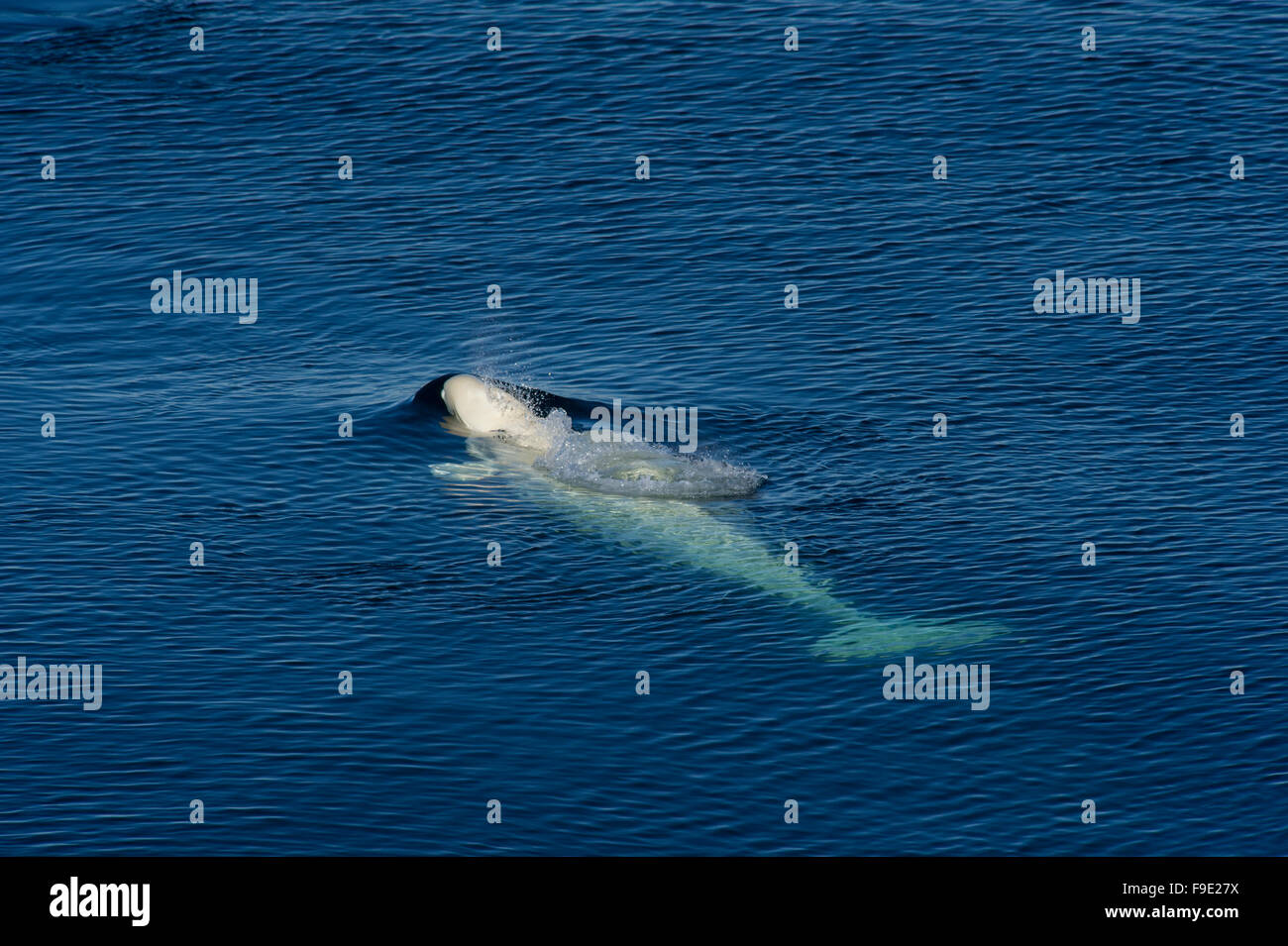 A Beluga Whale (Delphinapterus leucas) surfacing to breath in the blue Arctic waters of the North West coast of - Stock Image