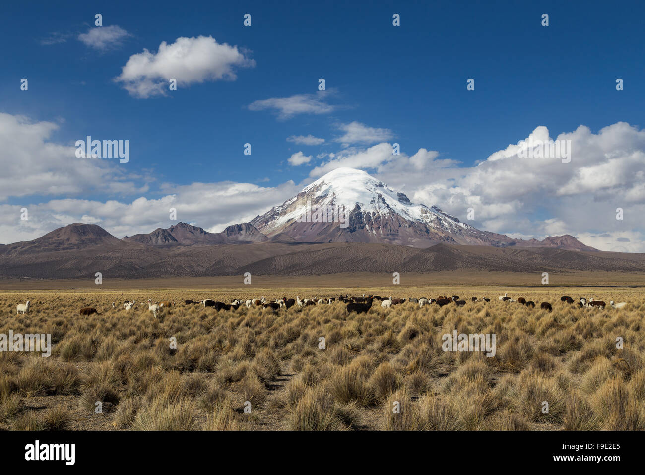 Photograph of the highest mountain in Bolivia Mount Sajama with a group of lamas and alpacas in front. - Stock Image
