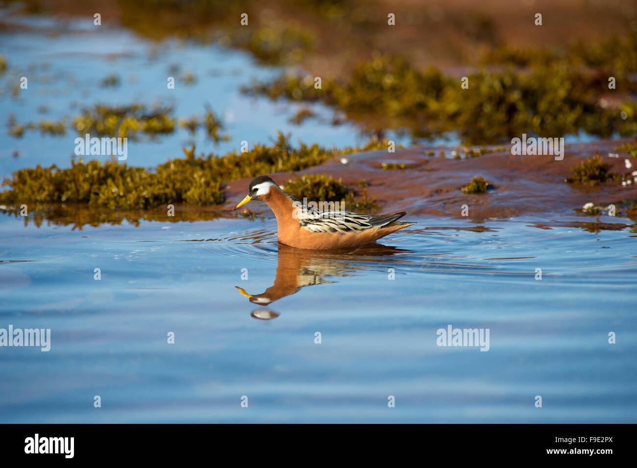 A Red Phalarope aka Grey Phalarope (Phalaropus fulicarius) during summe breeding season in the fjords of Spitsbergen, - Stock Image