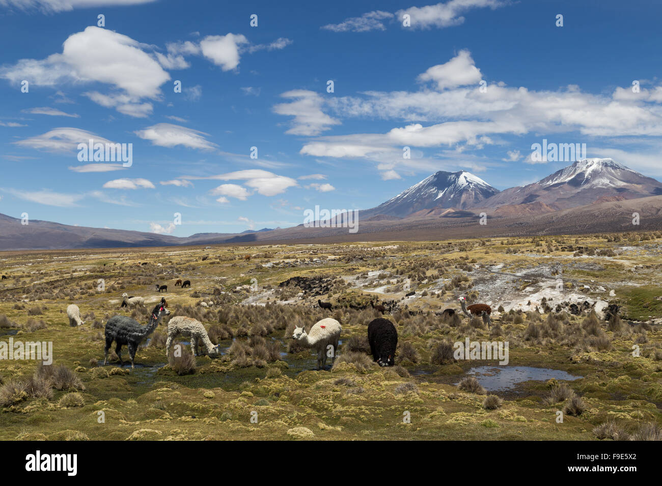 Photograph of a group of lamas and alpacas in Sajama National Park, Bolivia. - Stock Image