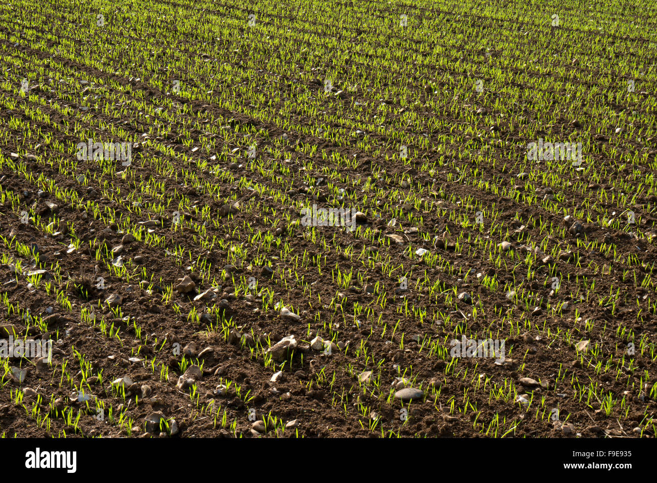 Crop growing in stony ground field, Norfolk,England - Stock Image