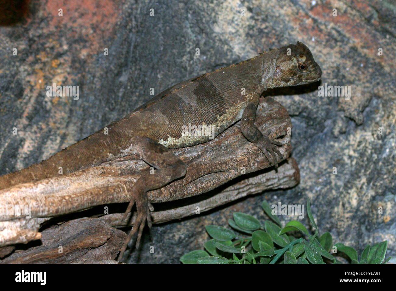 South American Mop headed Iguana (Uranoscodon superciliosus), aka Brazilian Diving Lizard, Brown Tree-climber or - Stock Image