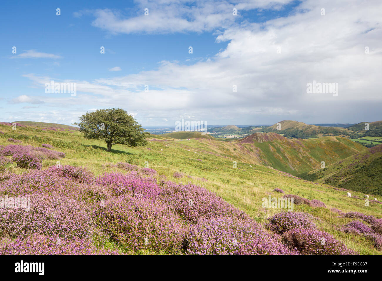 Looking across the Stretton Hills from the Long Mynd and the distant Caradoc Hill, Shropshire, England, UK - Stock Image