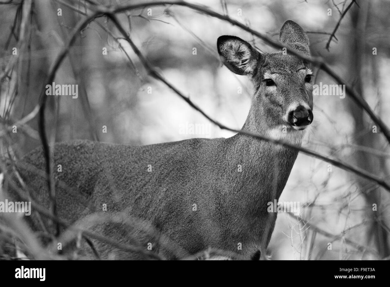 Black and white image with the deer in the shrub Stock Photo