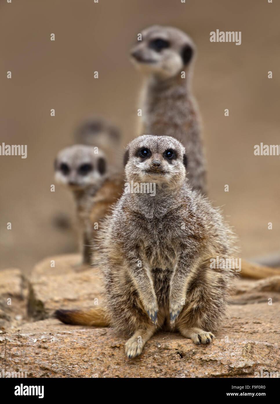 Group of Slender Tailed Meerkats (suricata suricatta) - Stock Image