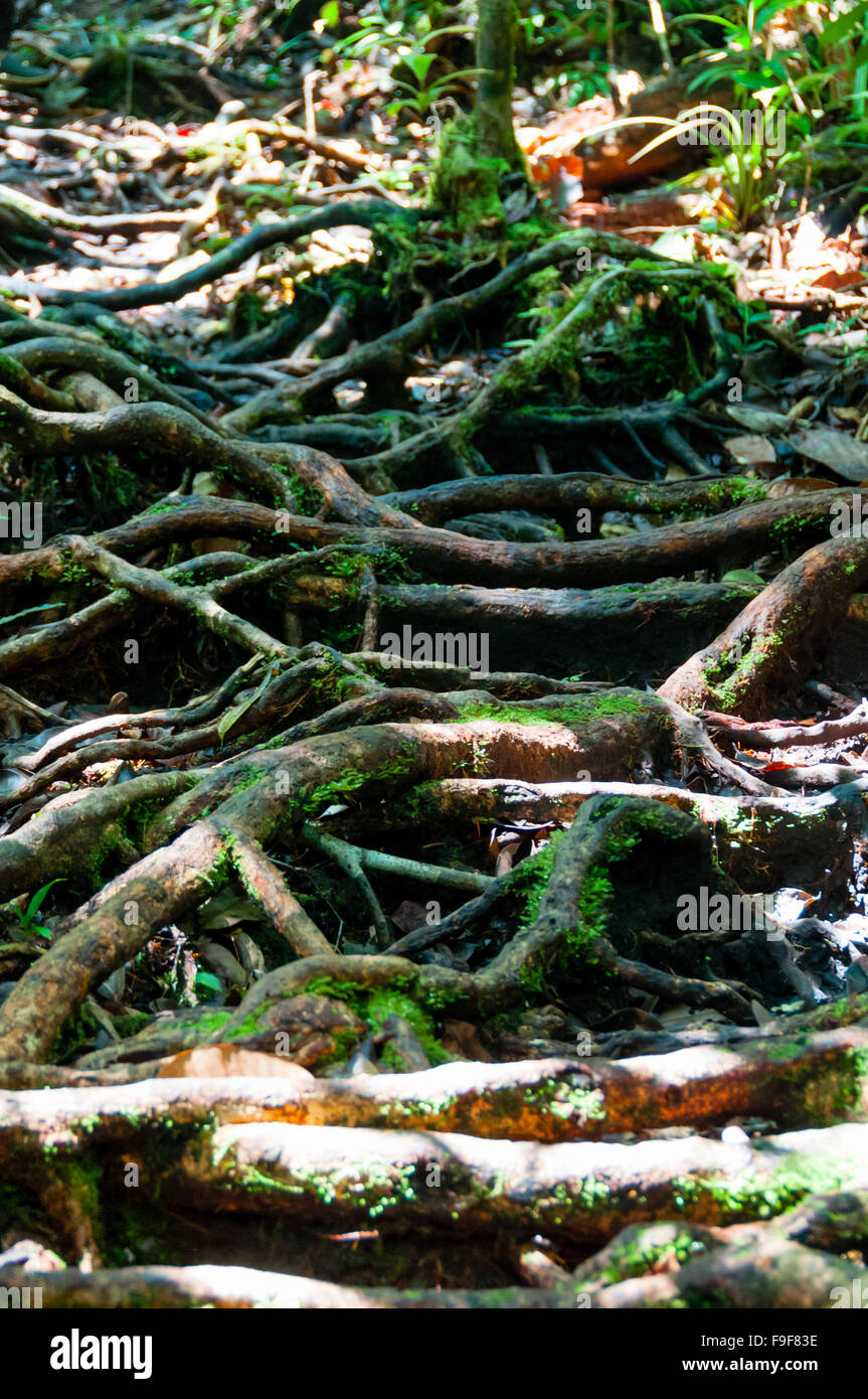 Lots of roots and vines - Stock Image