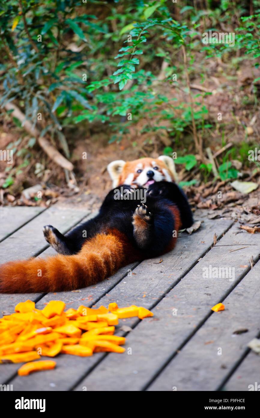 Pandas,The Chengdu Panda Breeding Research Centre,Chengdu,Sichuan Province, China,PRC,People's Republic of China - Stock Image