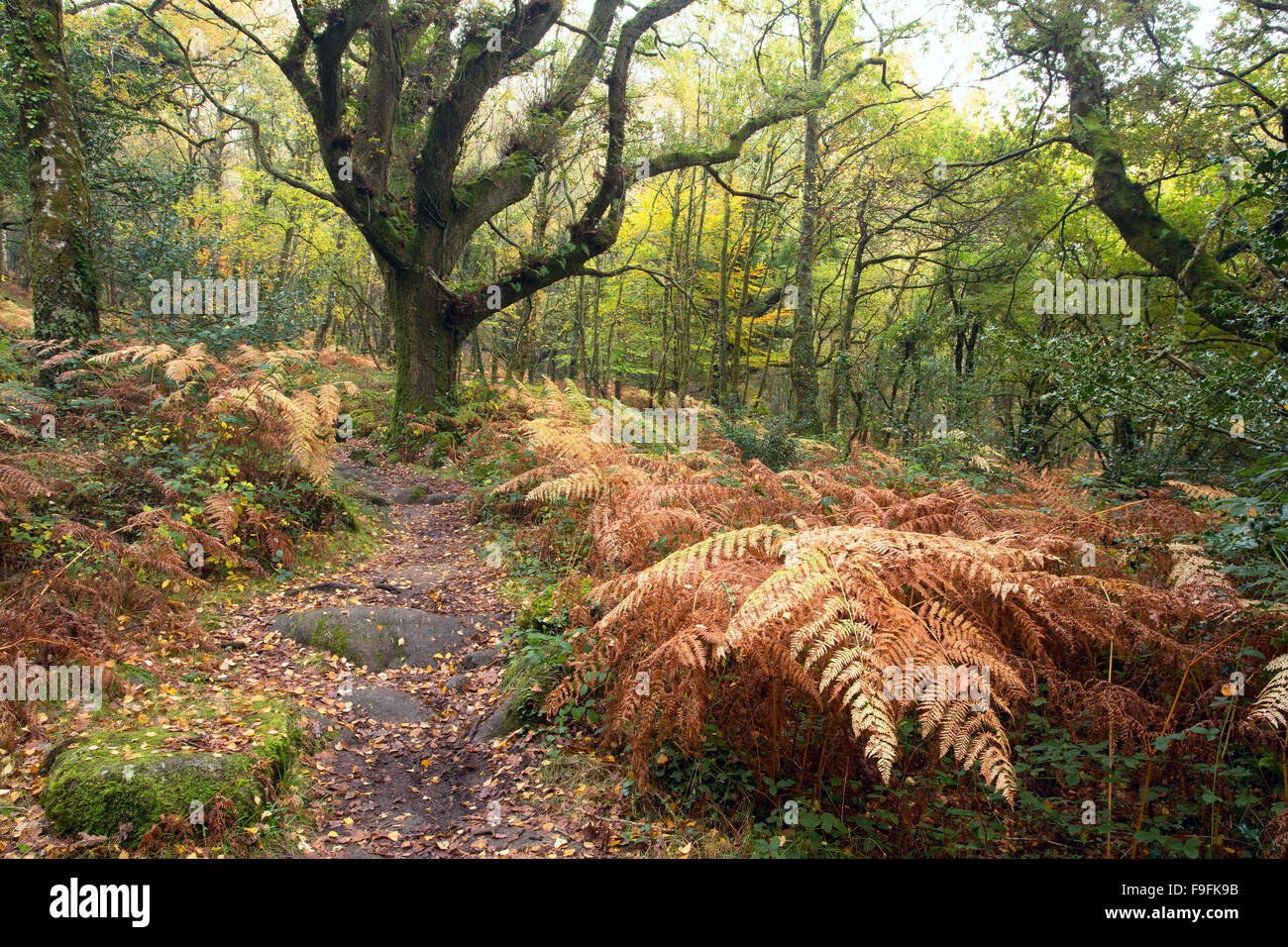 Path through woodland in Lustleigh Cleave in autumn Dartmoor National Park Devon Uk - Stock Image