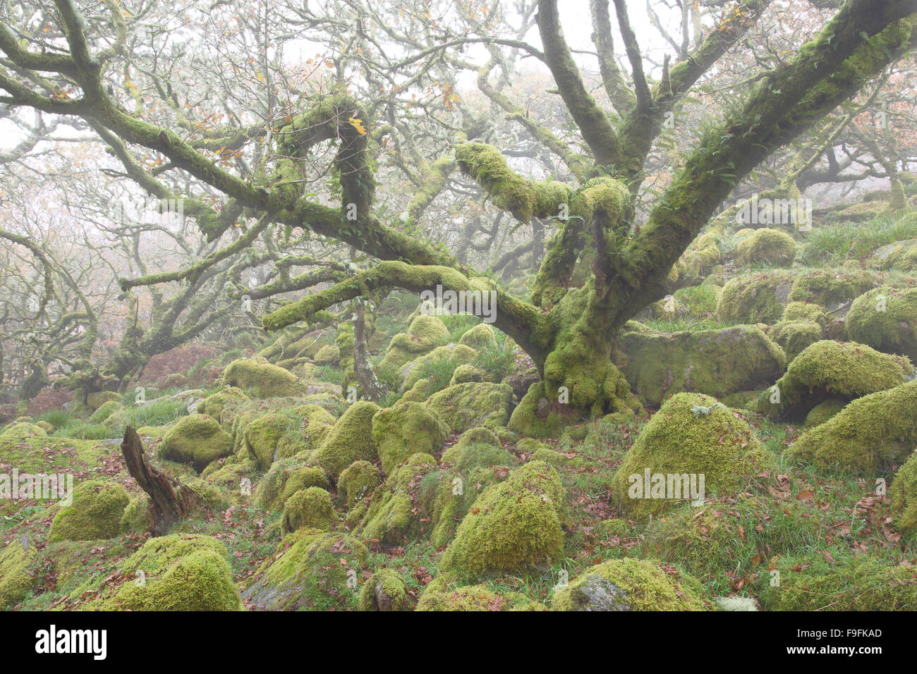 Twisted ancient oaks in a misty Wistmans Wood Dartmoor National Park Devon Uk Stock Photo