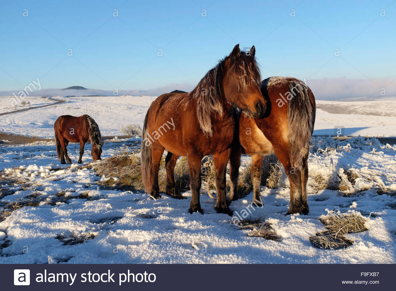 Wild horses in the fields - Stock Image