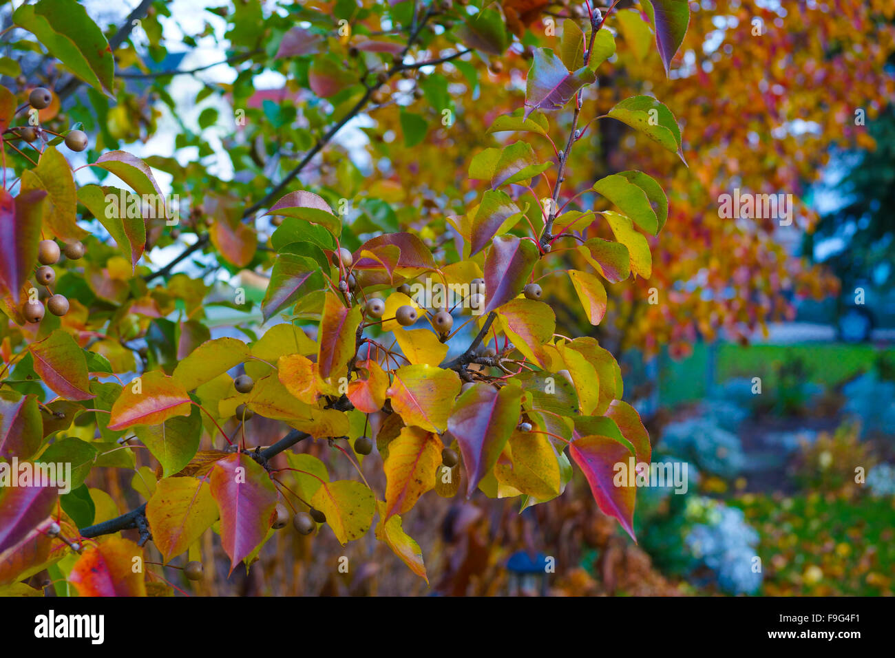 Flowering Callery Pear Tree Fruit Close up - Stock Image